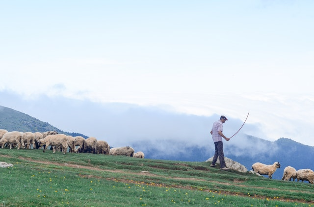 a shepherd tends to his flock